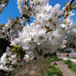 Cherry_Blossoms_21