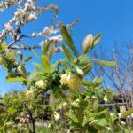 Haskap_Berry_Blossoms_21