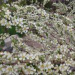 Fragrant Chum Blossoms