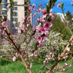 peach_blosoms_may_21
