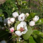 pear_blosoms_may_21