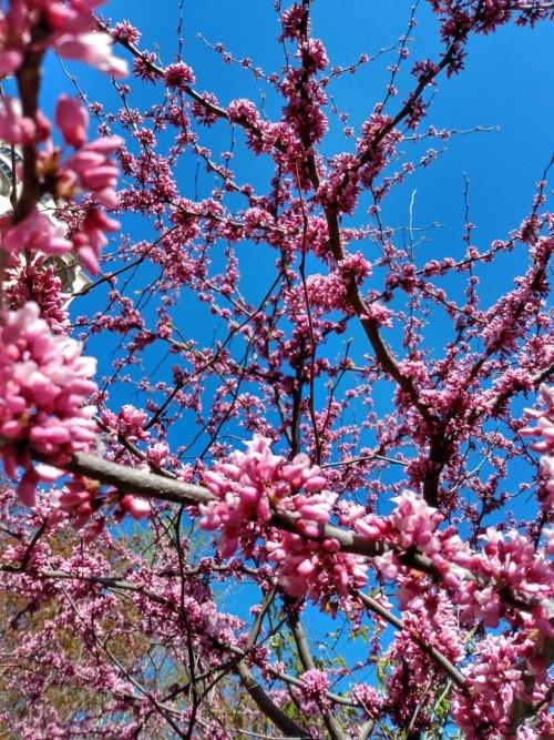 vibrant_eastern_redbud_tree
